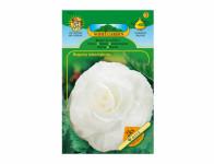 Begonia bílá Standard 2ks