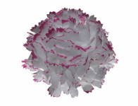 Kvet voskový KARAFIÁT bielo červený 9cm