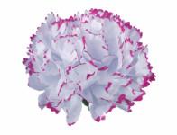 Kvet voskový KARAFIÁT bielo lila 9cm