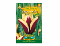 Tulipán triumph GAVOTA 5ks