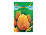 Tulipán, Darwinowy hybridy BLUSHING APELDOORN 5ks