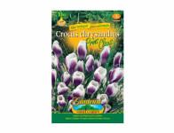 Šafrán, krokus botanický PRINS CLAUS 10ks