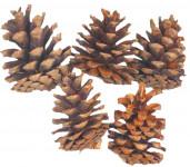 Dekorace - Blue pine 4 ks