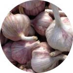 Česnek sadb. - Germidour nepaličák fialový (50-60 mm) cena bez slev - 20 kg