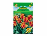 Tulipán Greigii CAPE COD 5ks