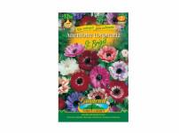 Anemone Sasan 12ks Gardenia