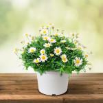 Vypěstuj si kopretiny, květináč bílý 13 cm, Domestico