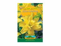 Lilium FATA MORGANA 1ks Gardenia