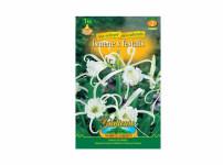 Hymenocallis festalis, Ismene - Gardenia