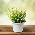 Vypěstuj si heřmánek, květináč bílý 13 cm, Domestico