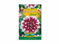 Dahlia MISTERY DAY Gardenia