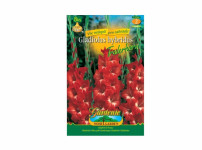 Gladiolus TRADERHORN 8ks