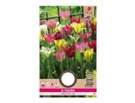 Tulipán zelenokvětý SMĚS 8ks