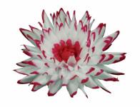 Kvet voskový JIŘINA KAKTUS bielo červený 15cm