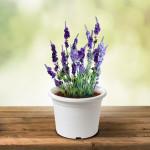Vypěstuj si levanduli, květináč bílý 13 cm, Domestico