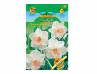Narcis zahradní, velkokorunný SALOME 4ks