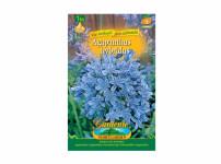 Agapanthus Gardenia 1ks