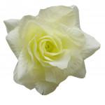 Ruže látková - žltobiela - 24 ks