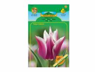 Tulipán liliokvětý CLAUDIA 5ks